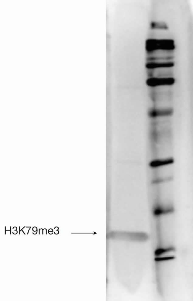 Tri-Methyl-Histone H3 (Lys79) Antibody (49-1020) in Western Blot