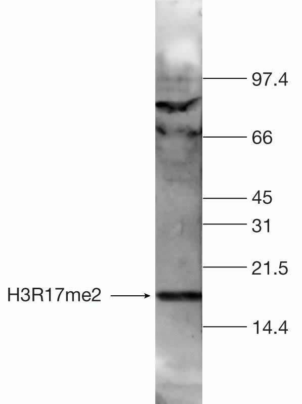 Di-Methyl-Histone H3 (Arg17) Antibody (49-1021)