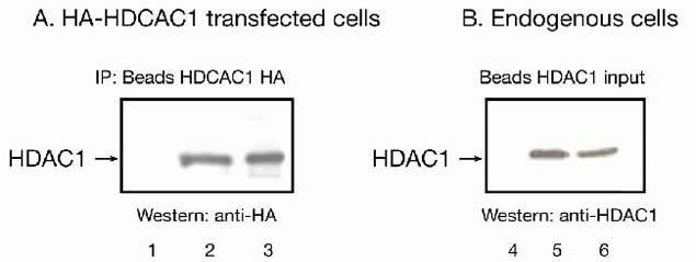 HDAC1 Antibody (49-1025) in Immunoprecipitation