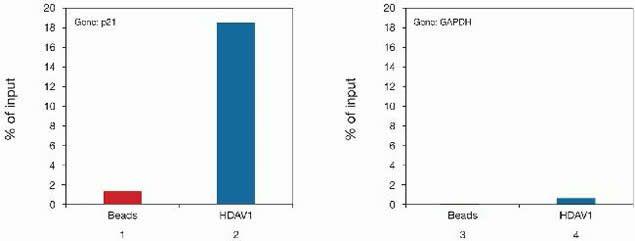 HDAC1 Antibody (49-1025) in ChIP assay