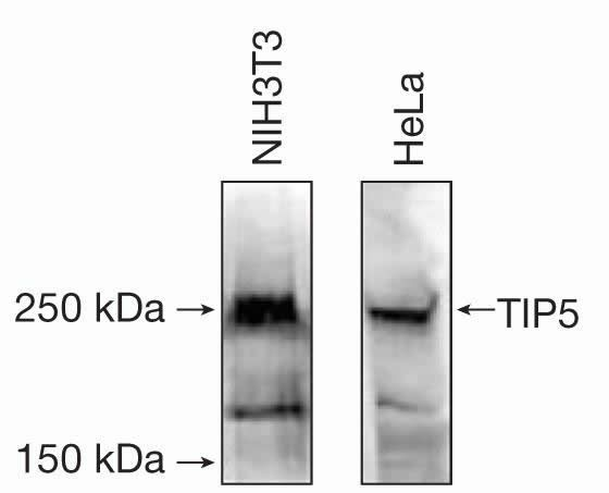 TIP5 Antibody (49-1037)