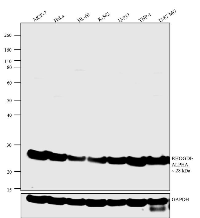 RhoGDI Antibody (51-1000Z) in Western Blot
