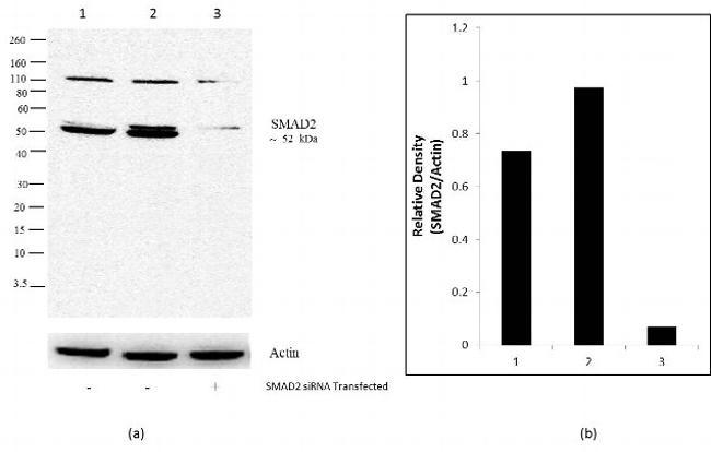 SMAD2 Antibody (51-1300) in Western Blot