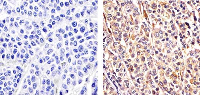 Cullin 2 Antibody (51-1800)
