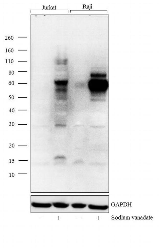 Phosphotyrosine Antibody (61-5820)