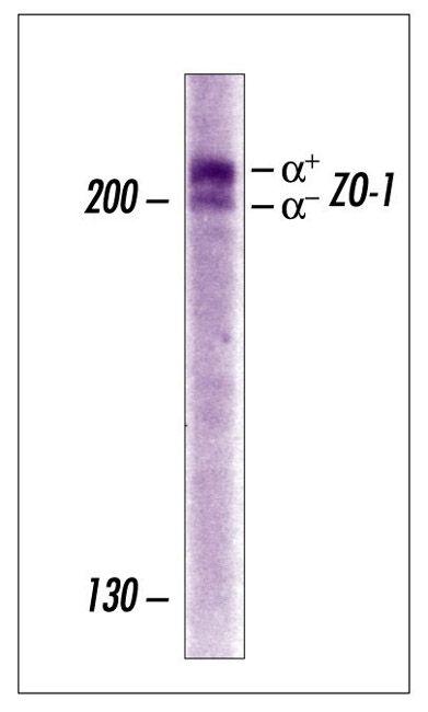 ZO-1 Polyclonal Antibody