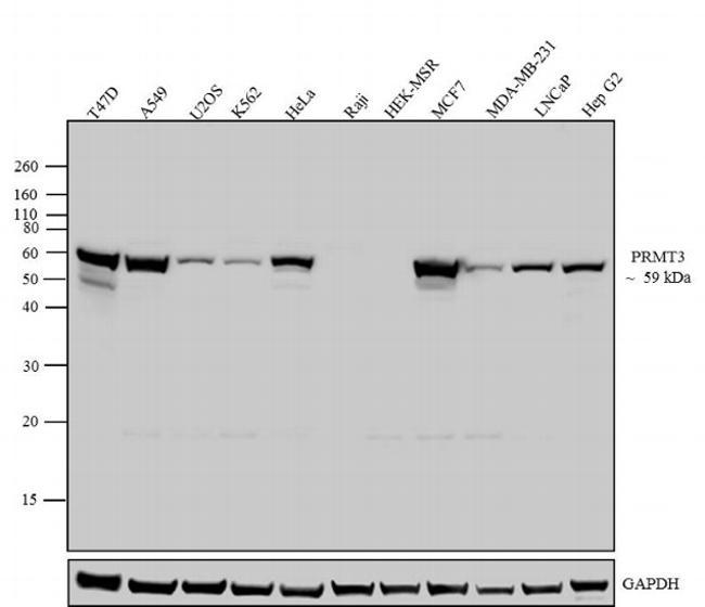 Mouse IgG (H+L) Secondary Antibody (62-6520) in Western Blot