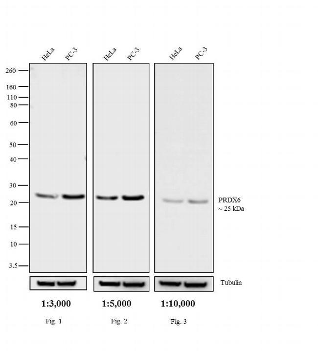 Rabbit IgG (H+L) Secondary Antibody (65-6120) in Western Blot
