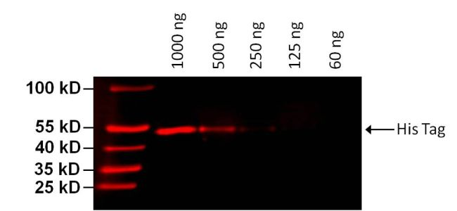 6x-His Tag Antibody (MA1-21315-D680) in Western Blot