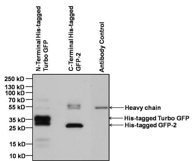 6x-His Tag Antibody (MA1-135) in Immunoprecipitation