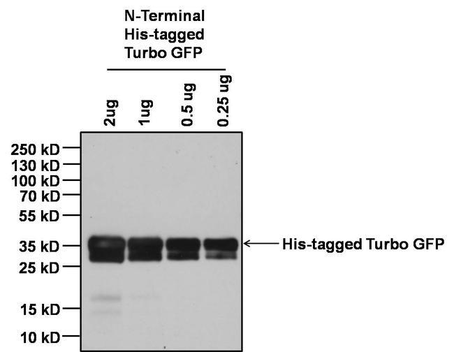 6x-His Tag Antibody (MA1-135) in Western Blot
