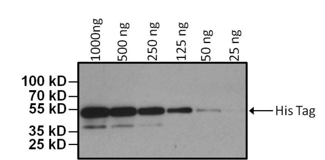 6x-His Tag Antibody (MA1-21315-HRP) in Western Blot