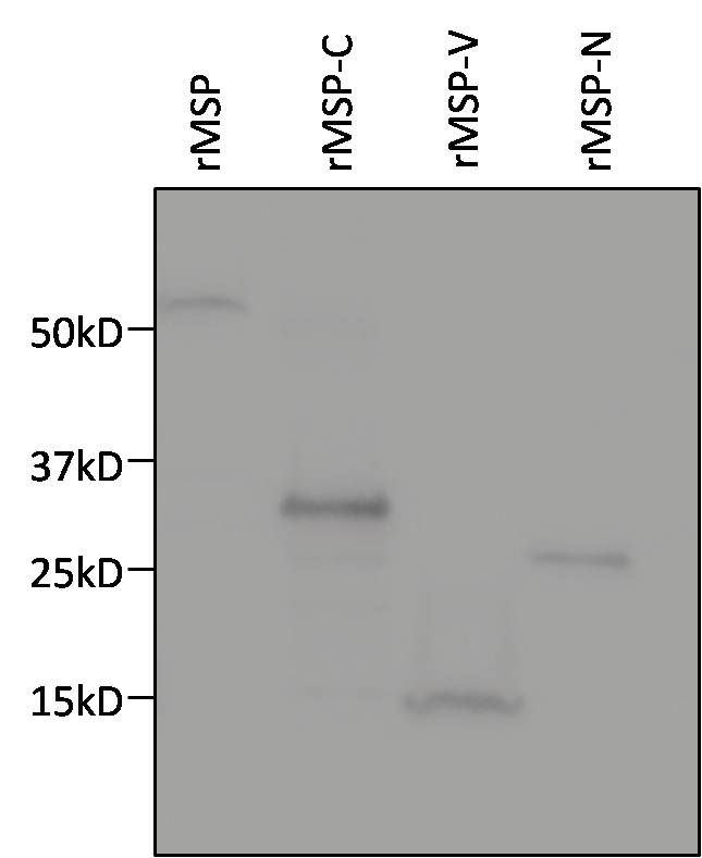 6x-His Tag Antibody (MA1-21315) in Western Blot