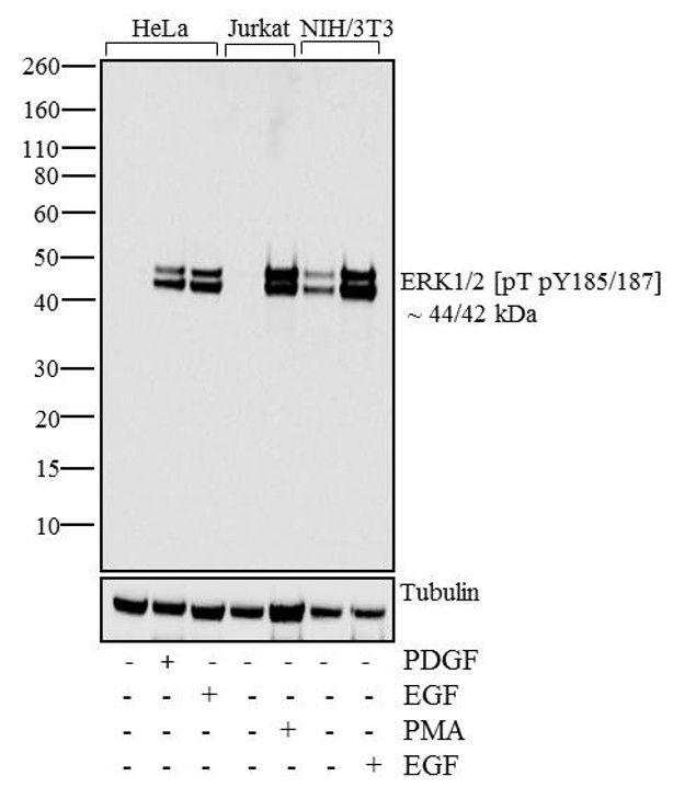 Phospho-ERK1/ERK2 (Thr185, Tyr187) Antibody (700012) in Western Blot