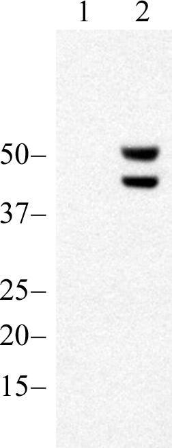 Phospho-JNK1/JNK2 (Thr183, Tyr185) Antibody (700031) in Western Blot