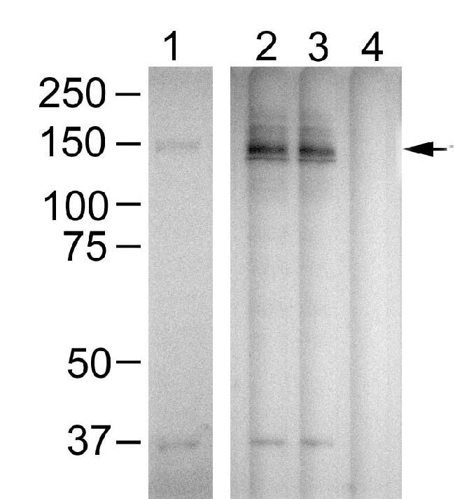 Phospho-PLCG1 (Tyr783) Antibody (700044) in Western Blot