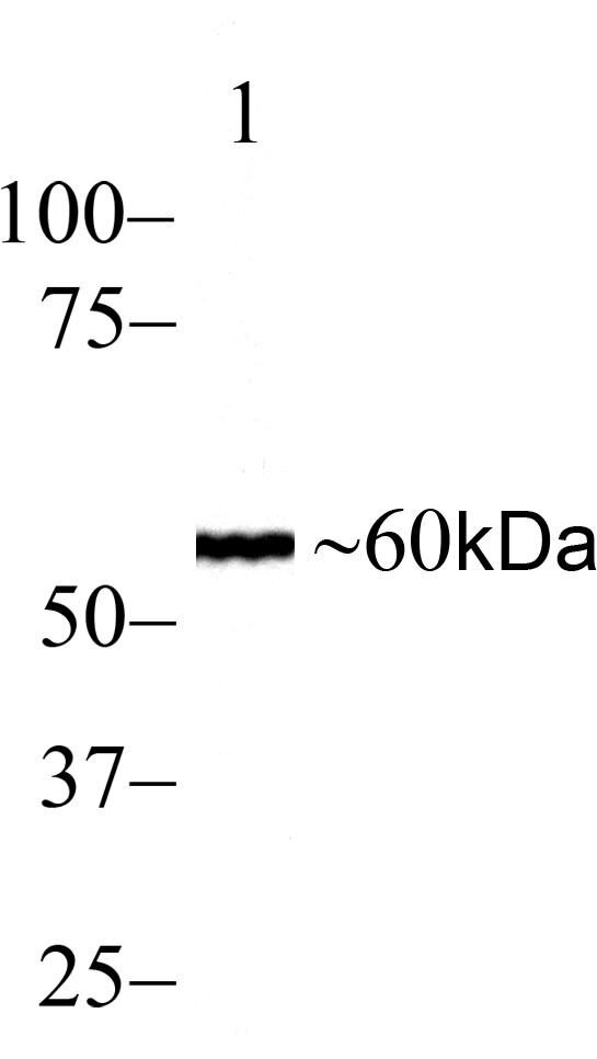 SMAD2 Antibody (700048) in Western Blot