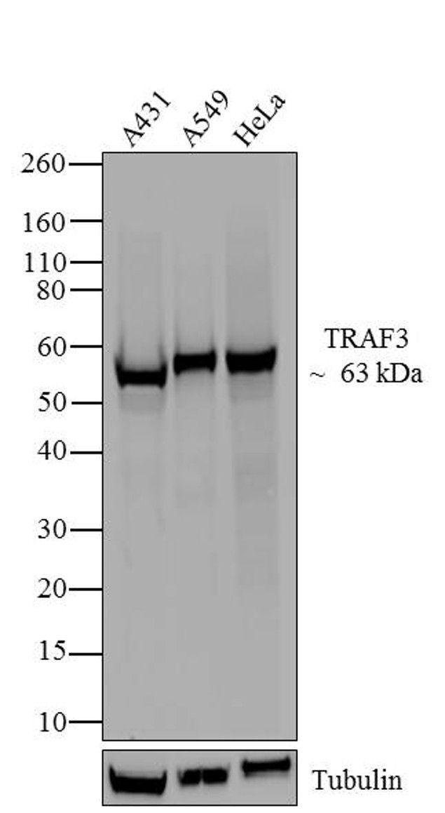 TRAF3 Antibody (700121) in Western Blot
