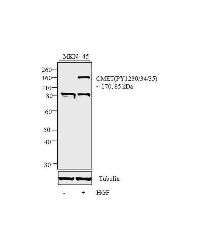 Phospho-c-Met (Tyr1230, Tyr1234, Tyr1235) Antibody (700139) in Western Blot