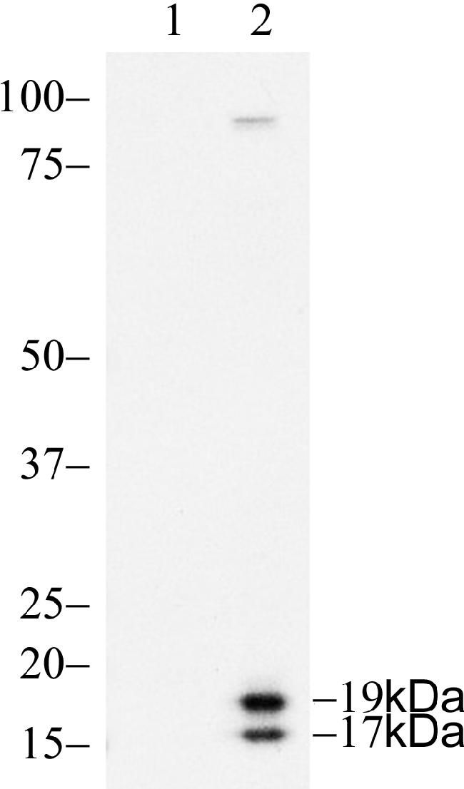 Caspase 3 Antibody (700182) in Western Blot
