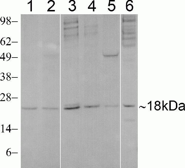 SUMO3 Antibody (700186) in Western Blot