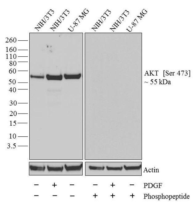 Phospho-AKT1 (Ser473) Antibody (700256) in Western Blot