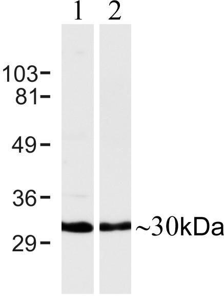 Connexin 30 Antibody (700258) in Western Blot