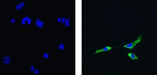NIK Antibody (700281) in Immunofluorescence