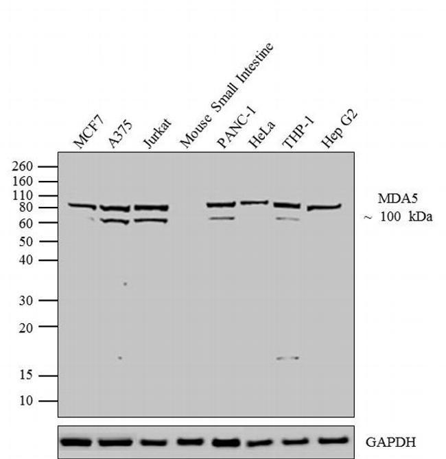 MDA5 Antibody (700360) in Western Blot