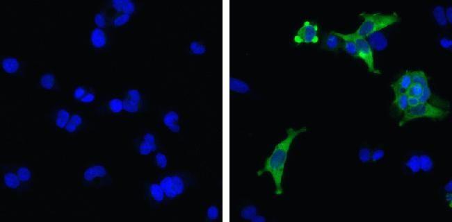 MDA5 Antibody (700360) in Immunofluorescence