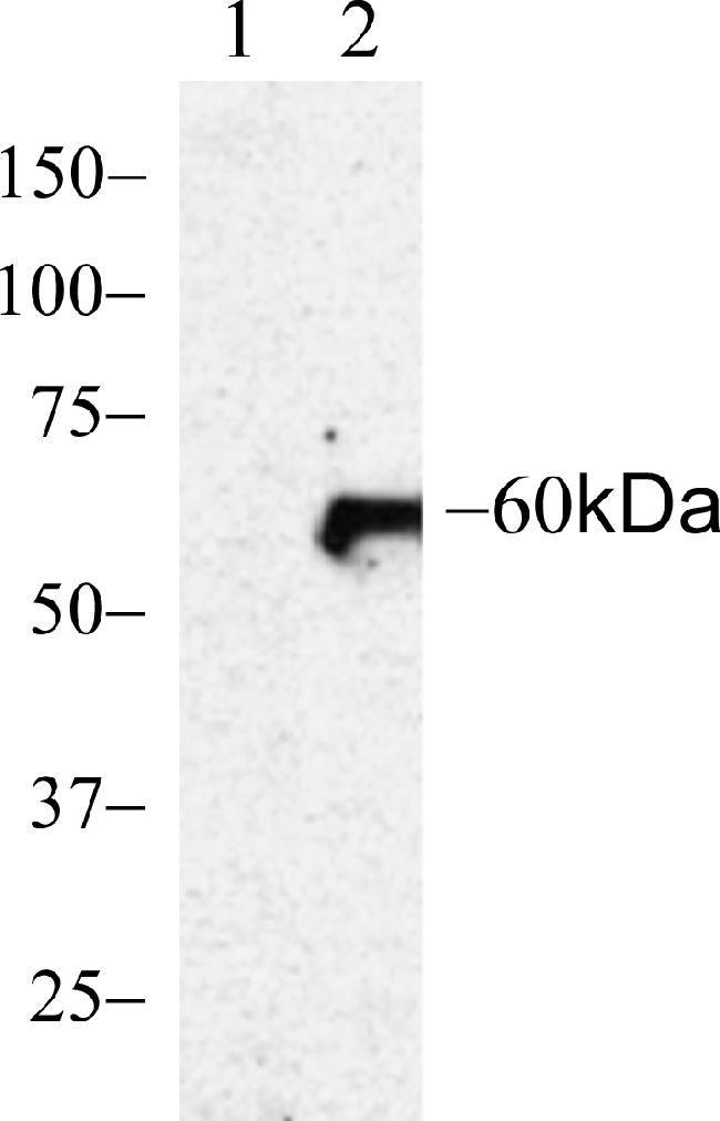 Phospho-AKT1 (Ser473) Antibody (700392) in Western Blot