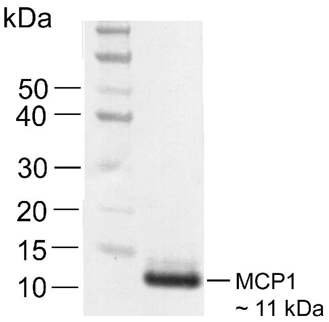 MCP-1 Antibody (700489) in Western Blot