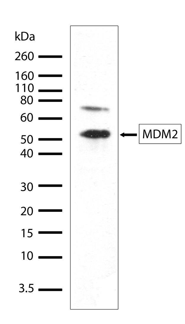 MDM2 Antibody (700555) in Western Blot