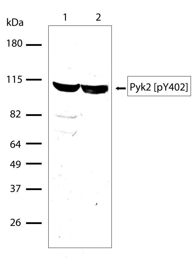 Phospho-FAK2 (Tyr402) Antibody (700632)