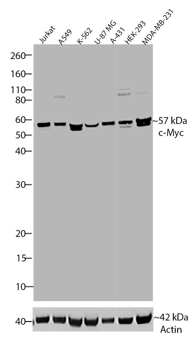 c-Myc Tag Antibody (700648) in Western Blot