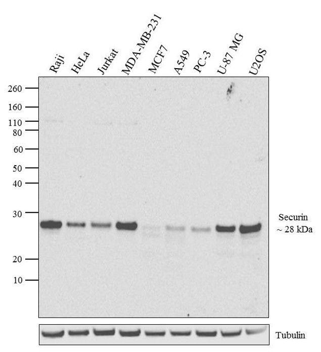 Securin Antibody (700791) in Western Blot