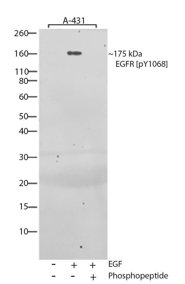 Phospho-EGFR (Tyr1068) Antibody (701053) in Western Blot