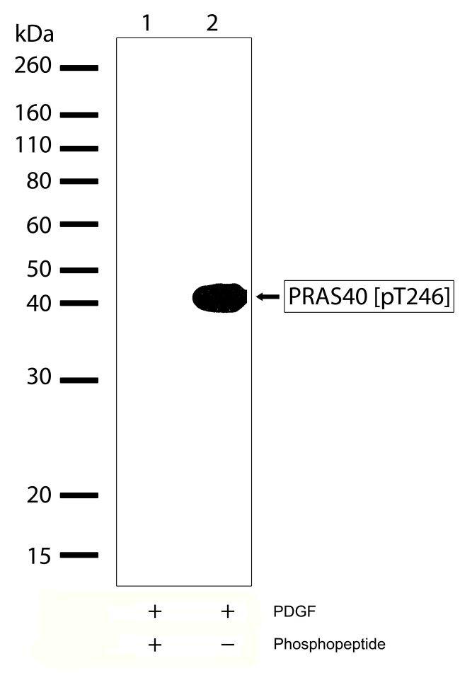 Phospho-PRAS40 (Thr246) Antibody (701058) in Western Blot