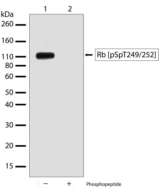 Phospho-Rb (Ser249, Thr252) Antibody (701059) in Western Blot