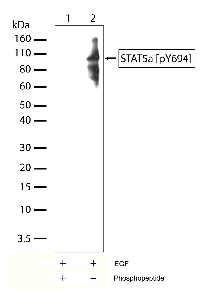 Phospho-STAT5 alpha (Tyr694) Antibody (701063) in Western Blot