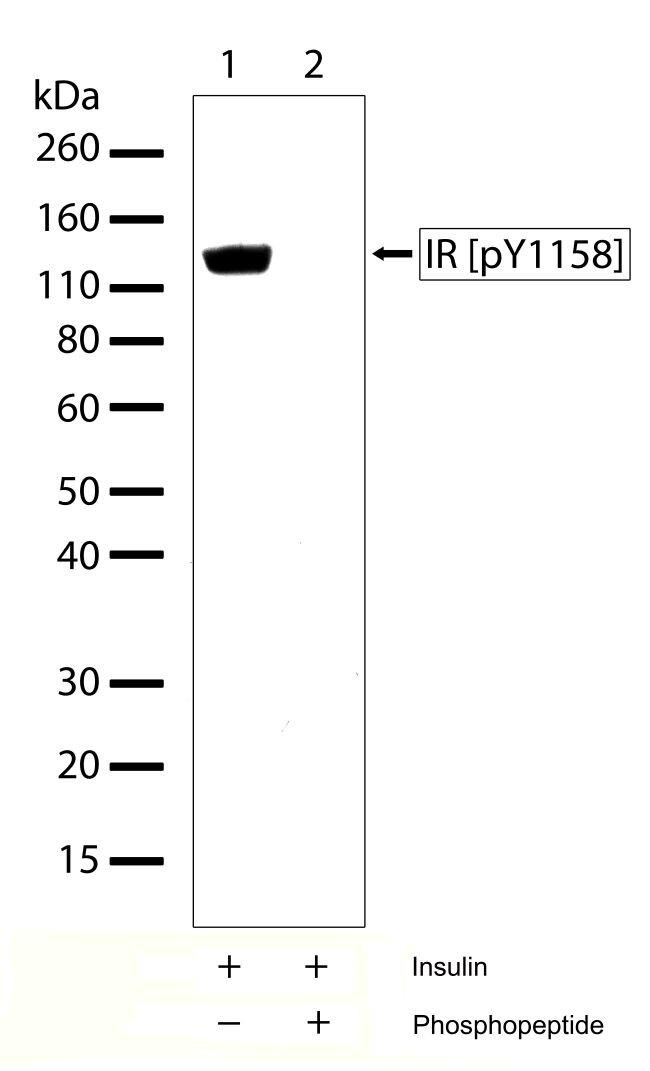 Phospho-IR pTyr1158 Antibody (701070)