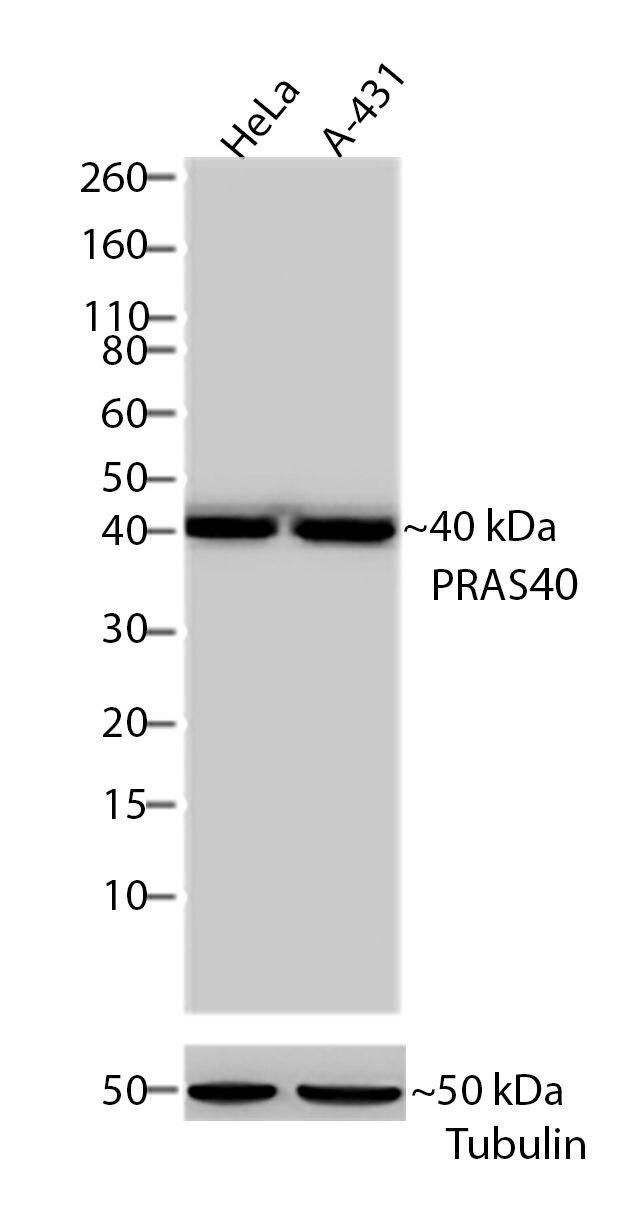 PRAS40 Antibody (701075) in Western Blot