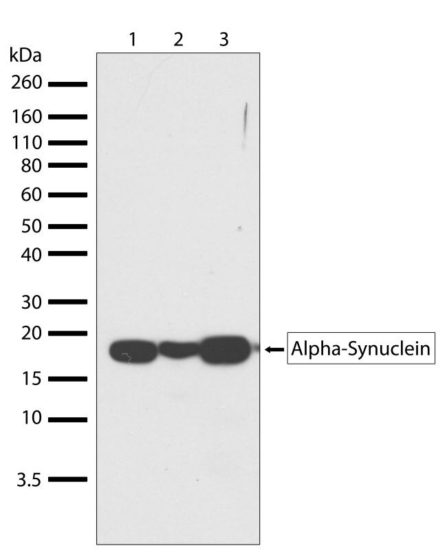 alpha Synuclein Antibody (701085) in Western Blot