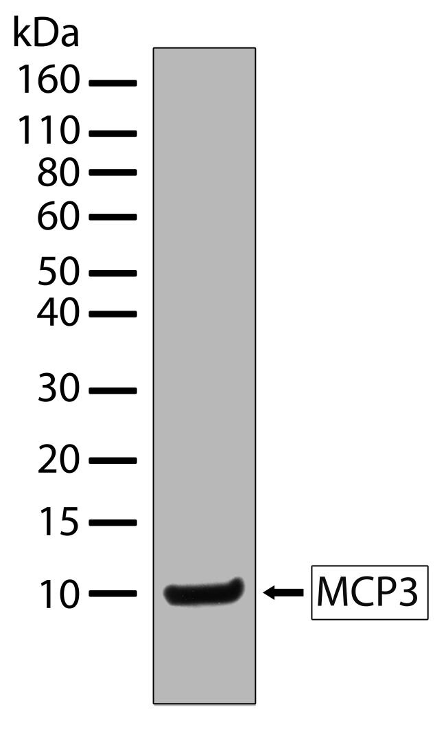 MCP-3 Antibody (701088) in Western Blot