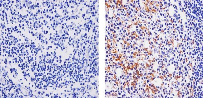 CCL3 Antibody (701097) in Immunohistochemistry (Paraffin)