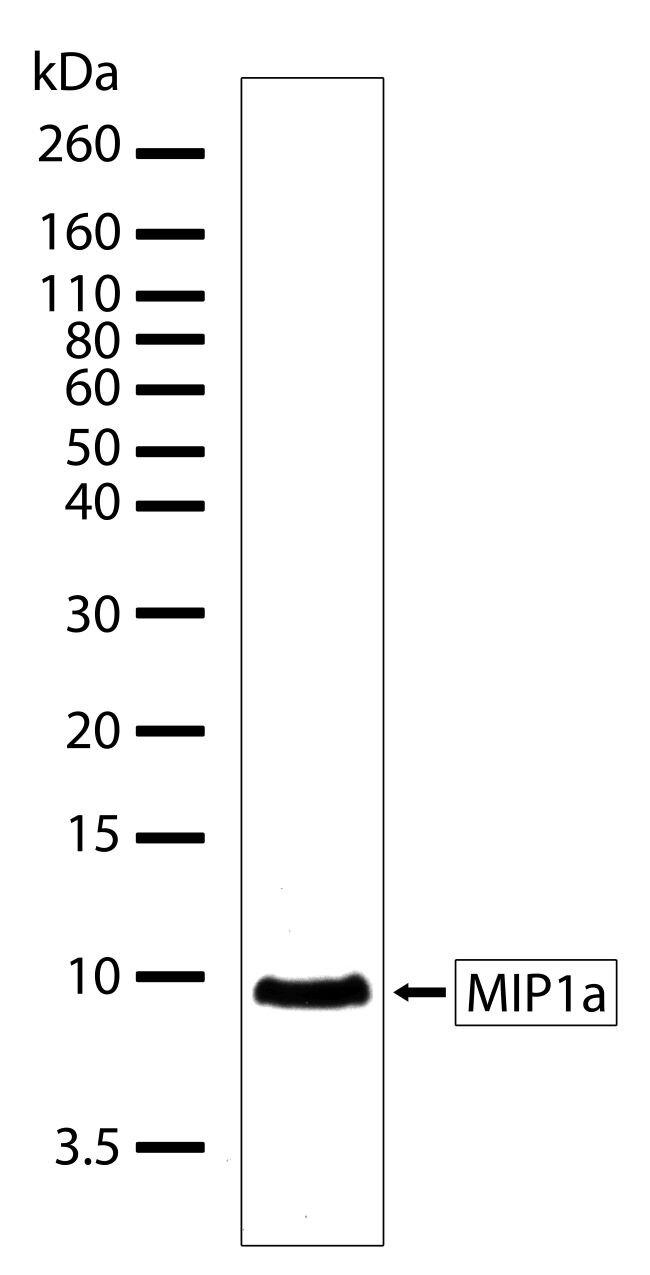 CCL3 Antibody (701097) in Western Blot