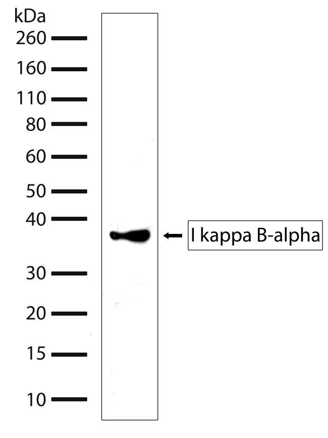 IkB alpha Antibody (701098) in Western Blot