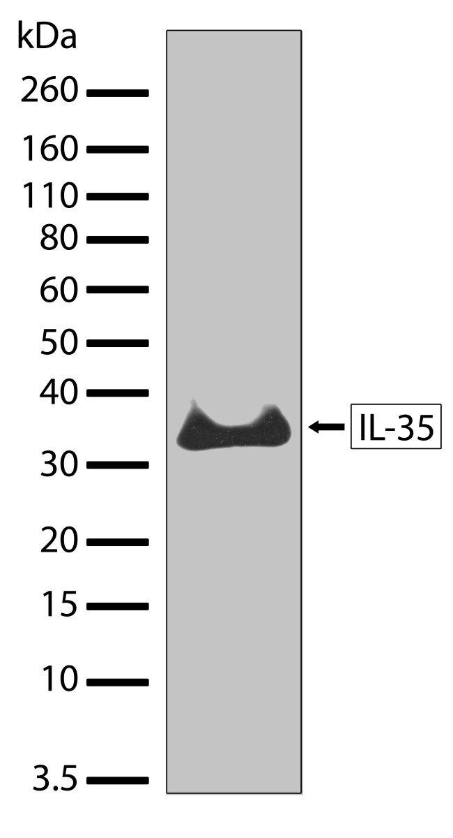 IL-35 Antibody (701101) in Western Blot