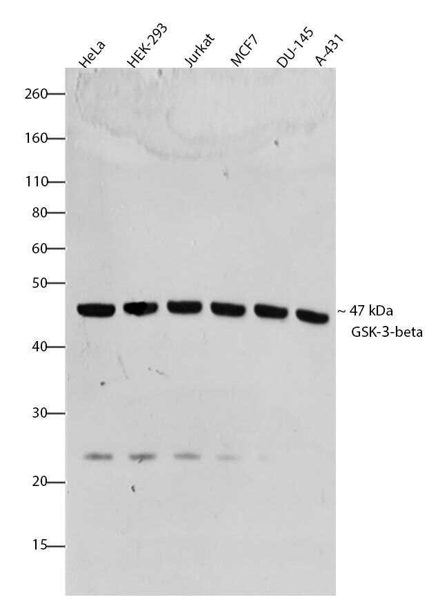 GSK3 beta Antibody (701102) in Western Blot