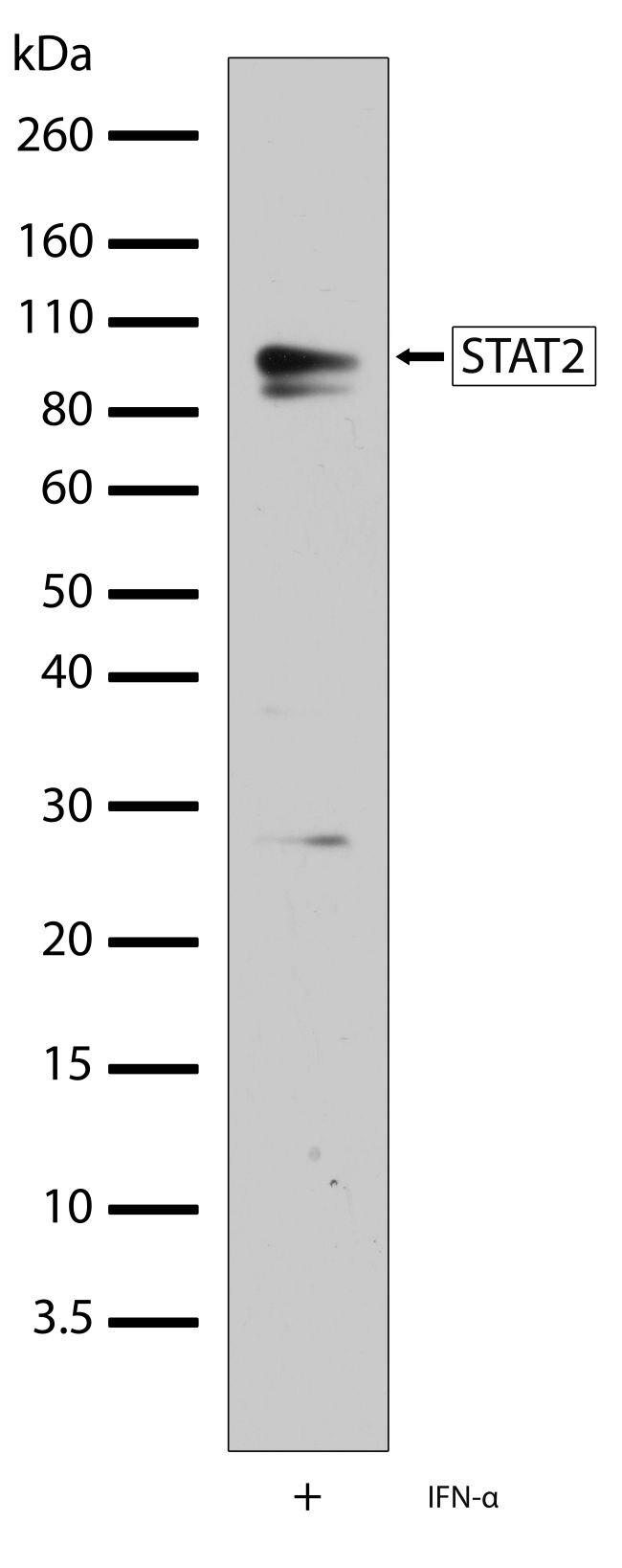 STAT2 Antibody (701105) in Western Blot